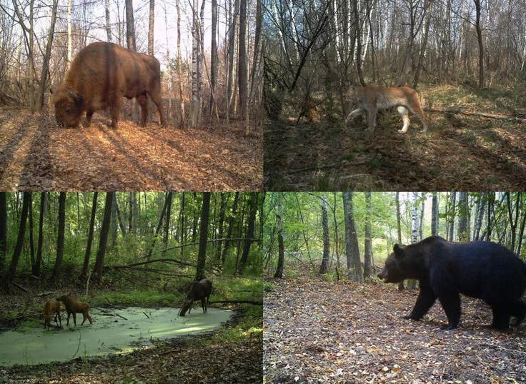 Animali selvatici a Chernobyl oggi